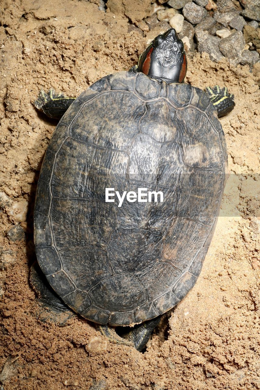 turtle, tortoise, reptile, animal wildlife, close-up, animal, animal themes, solid, nature, day, animals in the wild, tortoise shell, high angle view, shell, no people, vertebrate, rock, outdoors, one animal, rock - object, marine