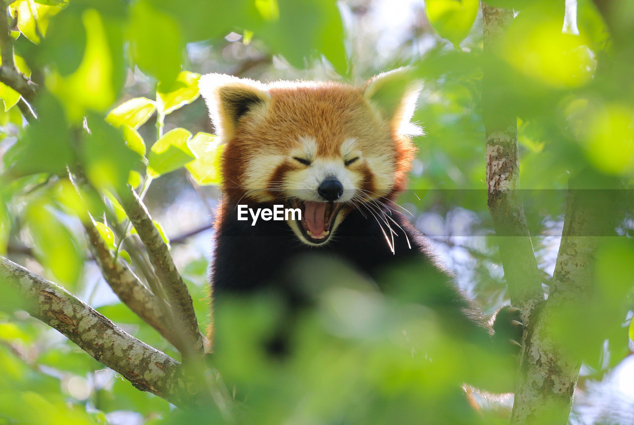 Close-Up Of Red Panda Yawning In Tree