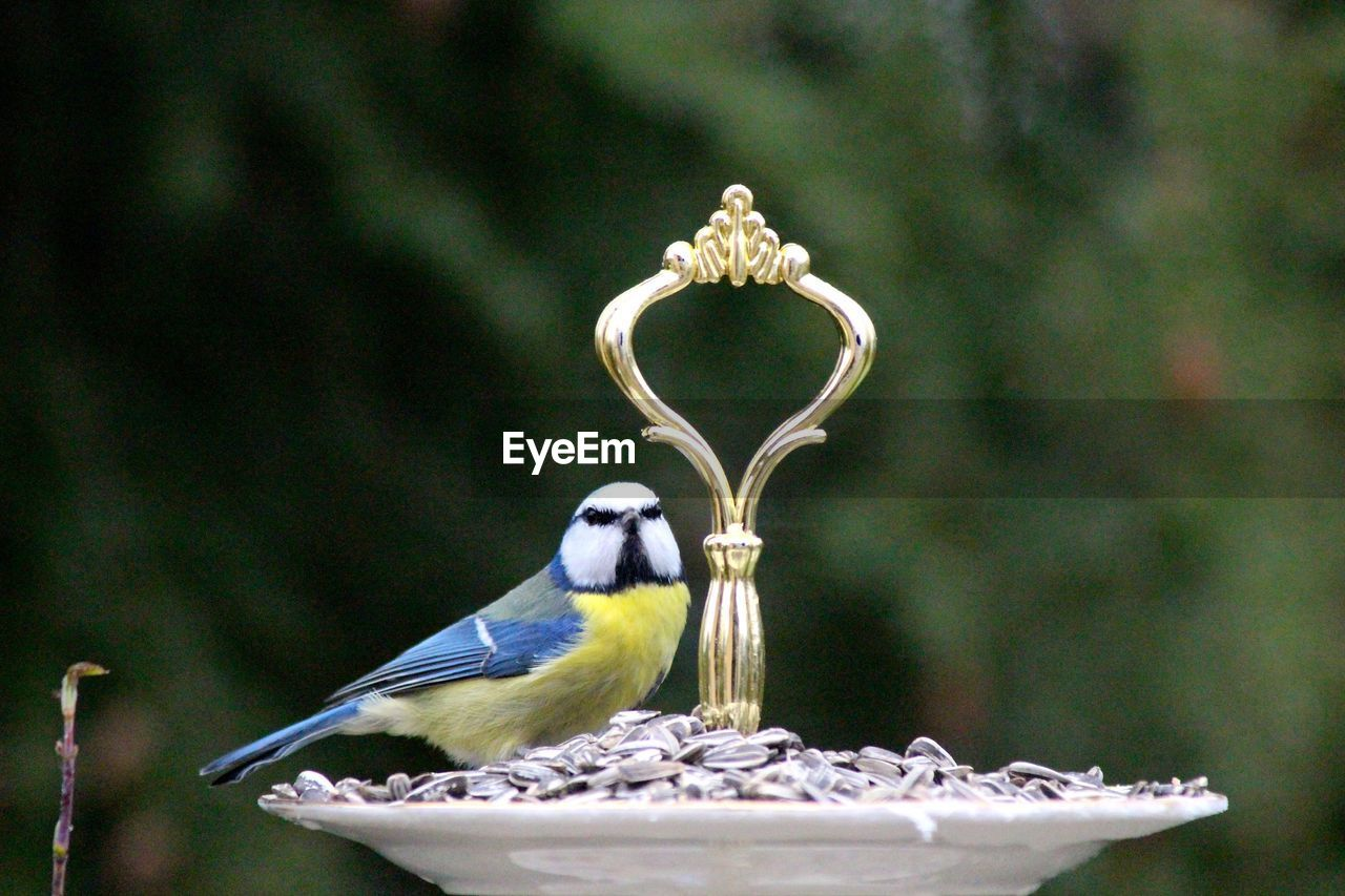 Tit Perching On Cakestand