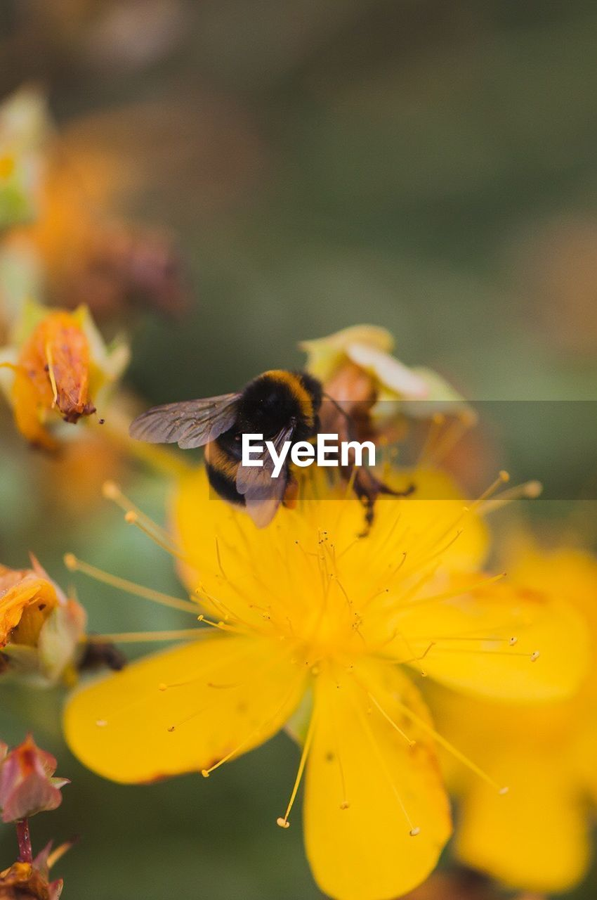 flower, insect, animals in the wild, animal themes, one animal, fragility, yellow, nature, bee, petal, animal wildlife, growth, pollination, wildlife, outdoors, plant, symbiotic relationship, beauty in nature, honey bee, freshness, bumblebee, no people, day, buzzing, close-up, flower head