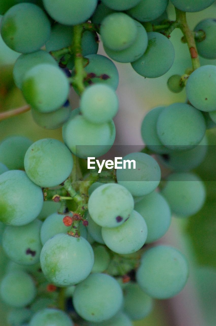 growth, food and drink, green color, fruit, day, no people, grape, bunch, abundance, plant, outdoors, nature, food, close-up, freshness, healthy eating