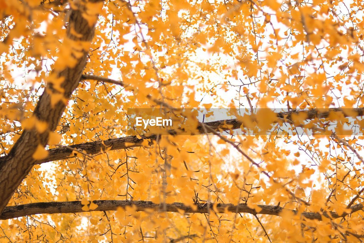 tree, change, autumn, plant, branch, yellow, orange color, growth, no people, nature, beauty in nature, low angle view, plant part, leaf, day, sunlight, full frame, backgrounds, maple leaf, outdoors, natural condition, autumn collection, leaves, fall