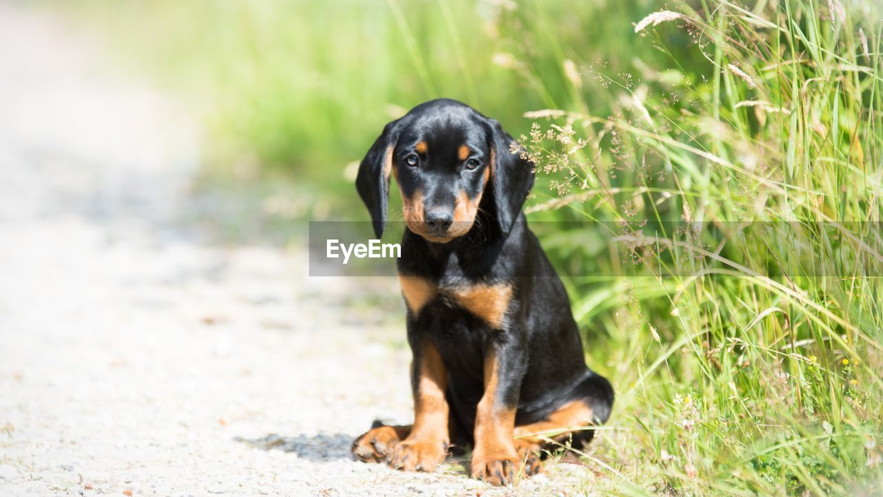 one animal, dog, canine, animal, animal themes, domestic, domestic animals, mammal, pets, black color, looking at camera, portrait, grass, plant, vertebrate, no people, day, nature, focus on foreground, land, purebred dog