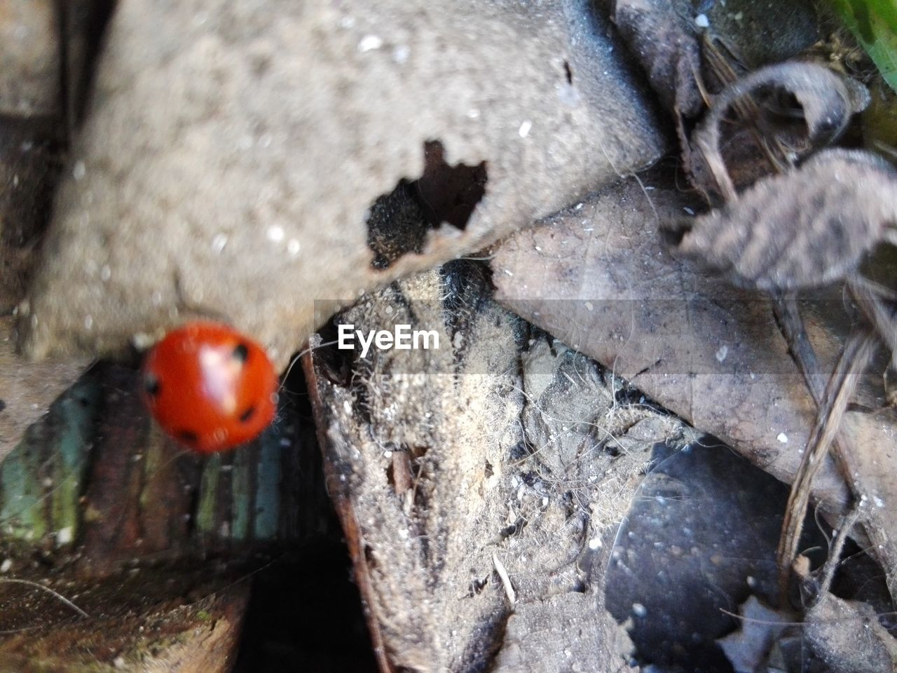 animals in the wild, no people, close-up, animal themes, outdoors, nature, day, animal wildlife, ladybug
