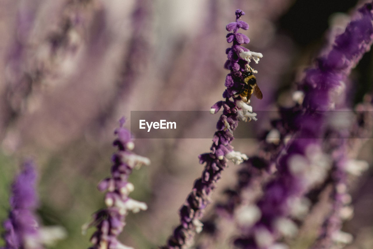flower, plant, purple, growth, flowering plant, beauty in nature, close-up, lavender, fragility, selective focus, freshness, vulnerability, nature, day, petal, lavender colored, no people, flower head, insect, inflorescence, outdoors, springtime