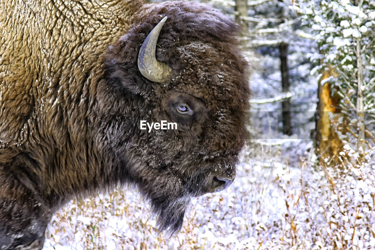 mammal, one animal, snow, animal themes, cold temperature, livestock, nature, no people, winter, outdoors, domestic animals, day, animal wildlife, american bison, close-up