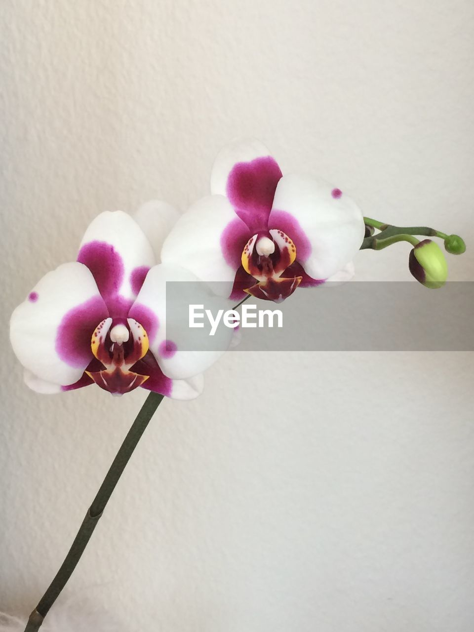 flower, flowering plant, fragility, plant, vulnerability, beauty in nature, petal, orchid, freshness, close-up, wall - building feature, flower head, inflorescence, indoors, white color, pink color, growth, nature, no people, plant stem, purple, flower arrangement