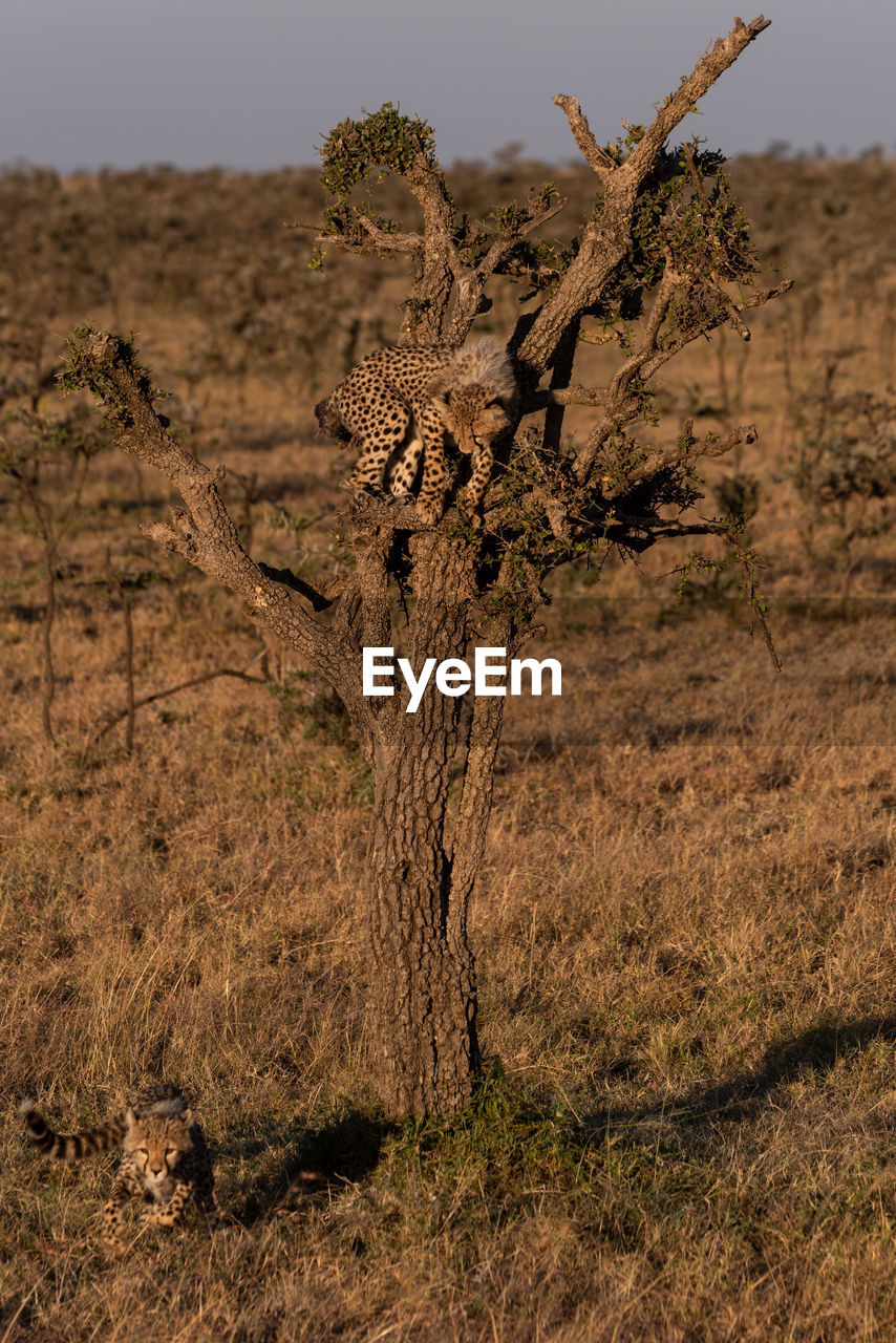 Young cheetahs on tree trunk