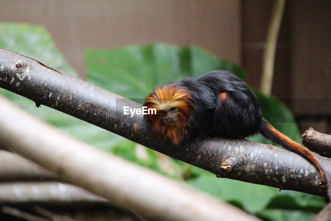 Golden Headed Lion Tamarin On Branch At London Zoo