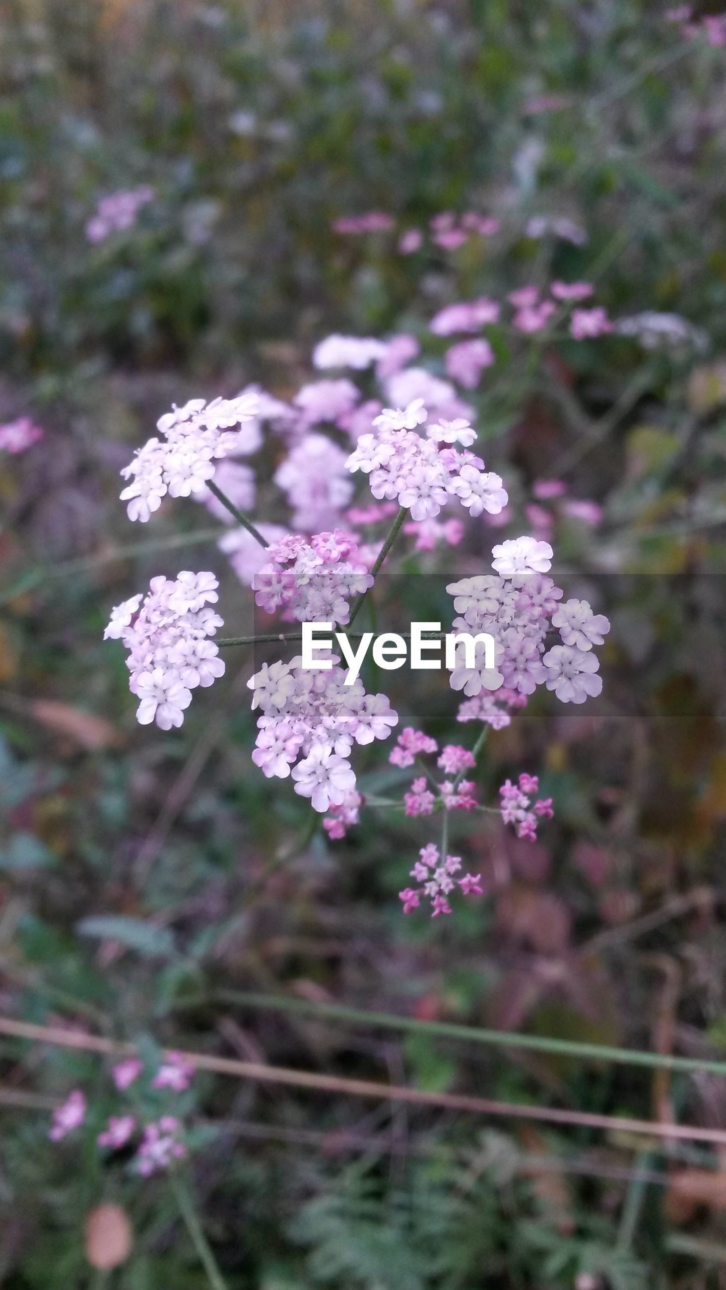 flower, freshness, growth, fragility, beauty in nature, focus on foreground, nature, blooming, petal, plant, close-up, purple, in bloom, flower head, selective focus, pink color, blossom, field, outdoors, day