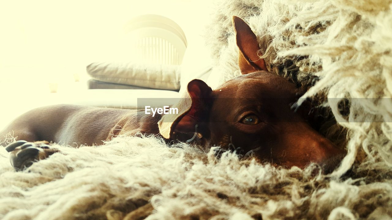 Close-Up Of Dog Lying Down On Bed