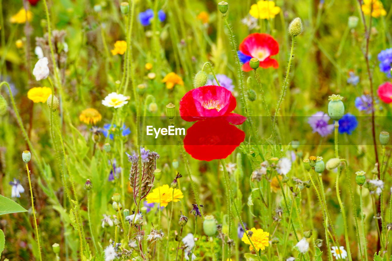 flowering plant, flower, plant, fragility, beauty in nature, vulnerability, freshness, growth, petal, flower head, inflorescence, close-up, nature, land, field, green color, no people, red, poppy, selective focus, outdoors, purple