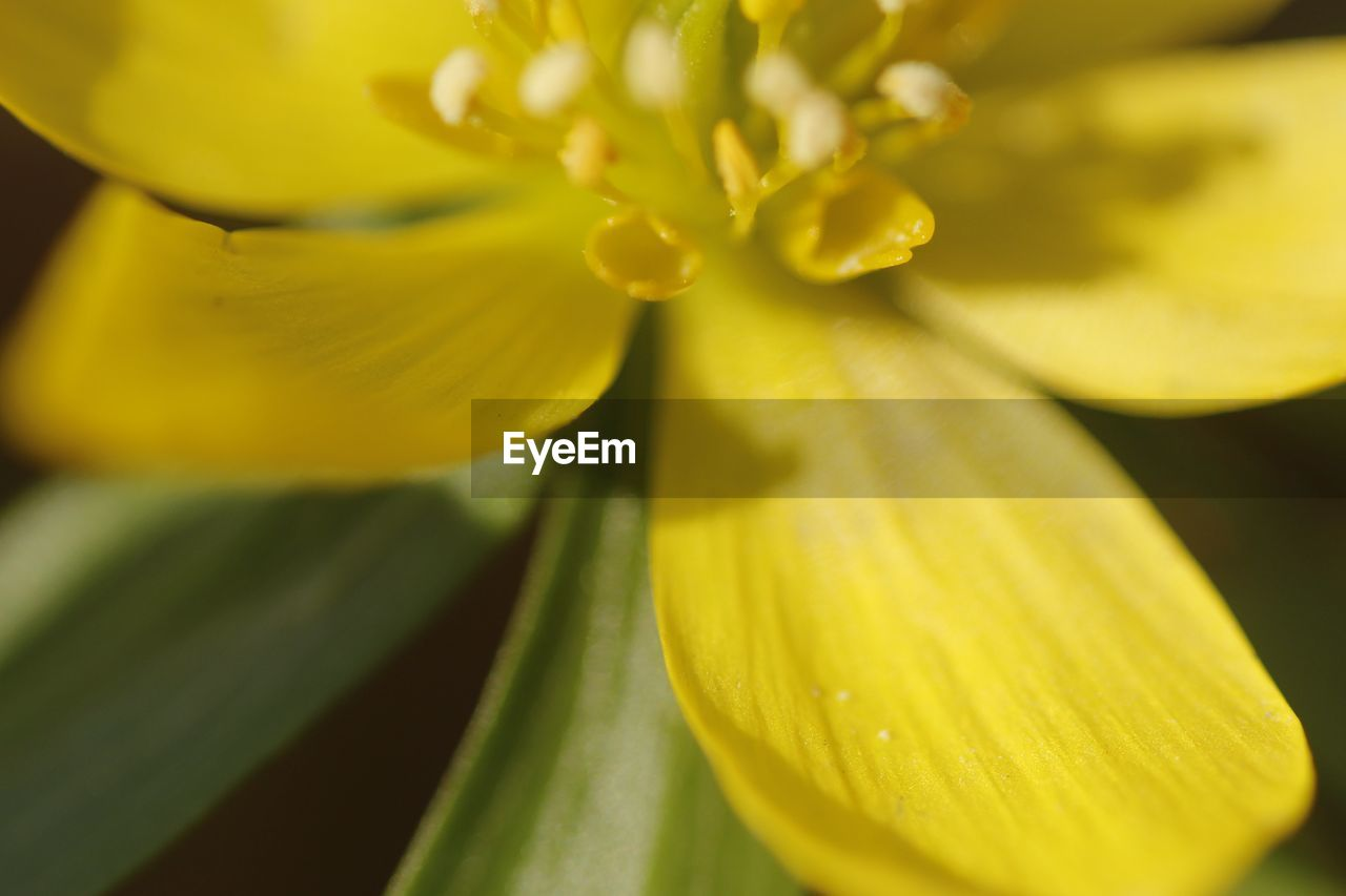 yellow, flower, petal, fragility, freshness, beauty in nature, growth, nature, selective focus, close-up, flower head, plant, backgrounds, no people, full frame, day, springtime, outdoors, blooming