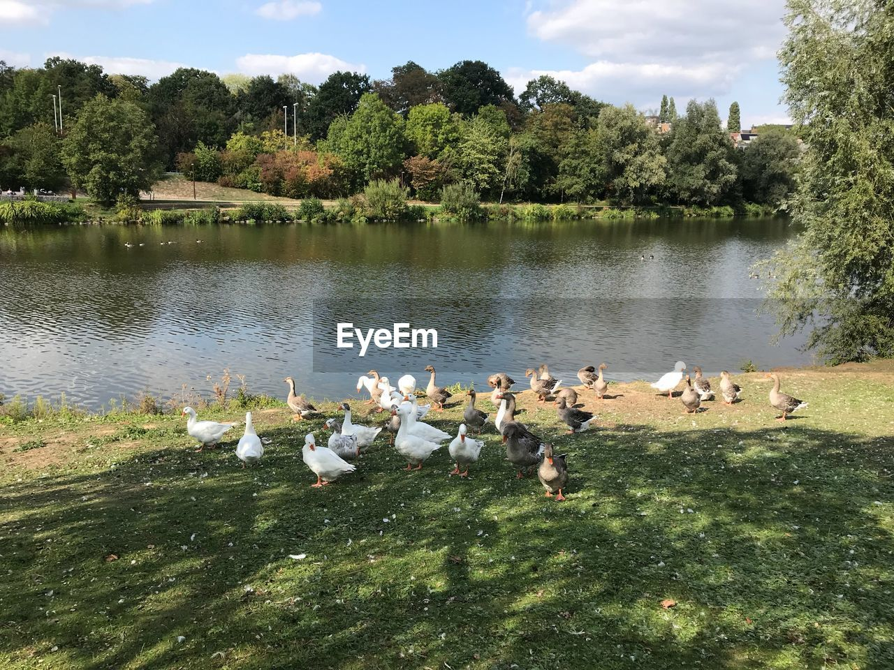 group of animals, bird, plant, large group of animals, lake, water, animals in the wild, animal themes, vertebrate, animal, tree, animal wildlife, nature, grass, day, beauty in nature, green color, no people, young animal, flock of birds, animal family