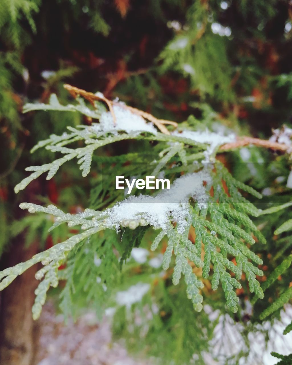plant, winter, close-up, snow, cold temperature, day, beauty in nature, no people, green color, leaf, nature, plant part, frozen, focus on foreground, selective focus, outdoors, growth, ice, branch, leaves, coniferous tree