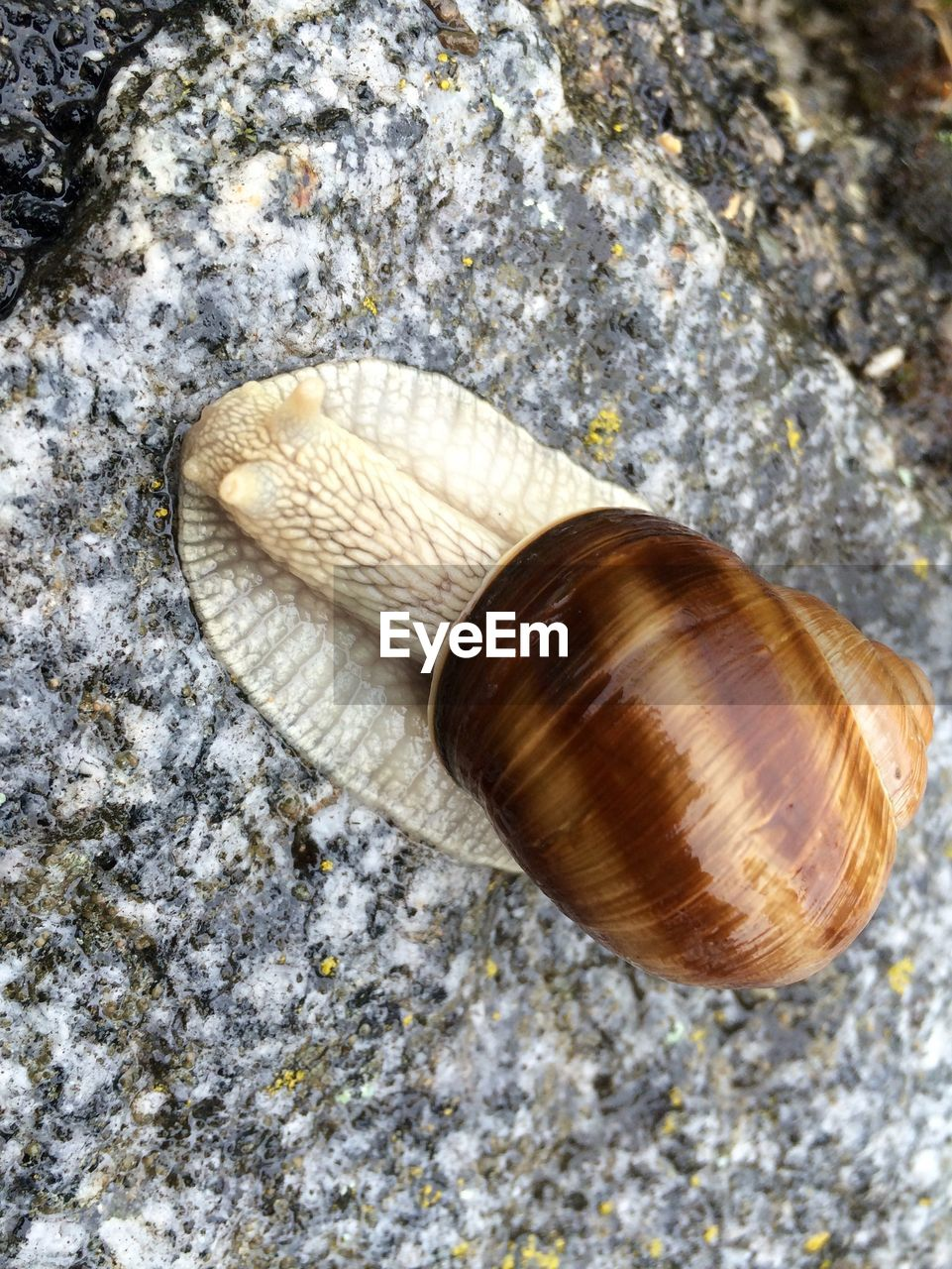 snail, one animal, animal shell, animal themes, gastropod, nature, animals in the wild, wildlife, rock - object, outdoors, day, close-up, no people, animal wildlife, textured, fragility, sea life, beauty in nature