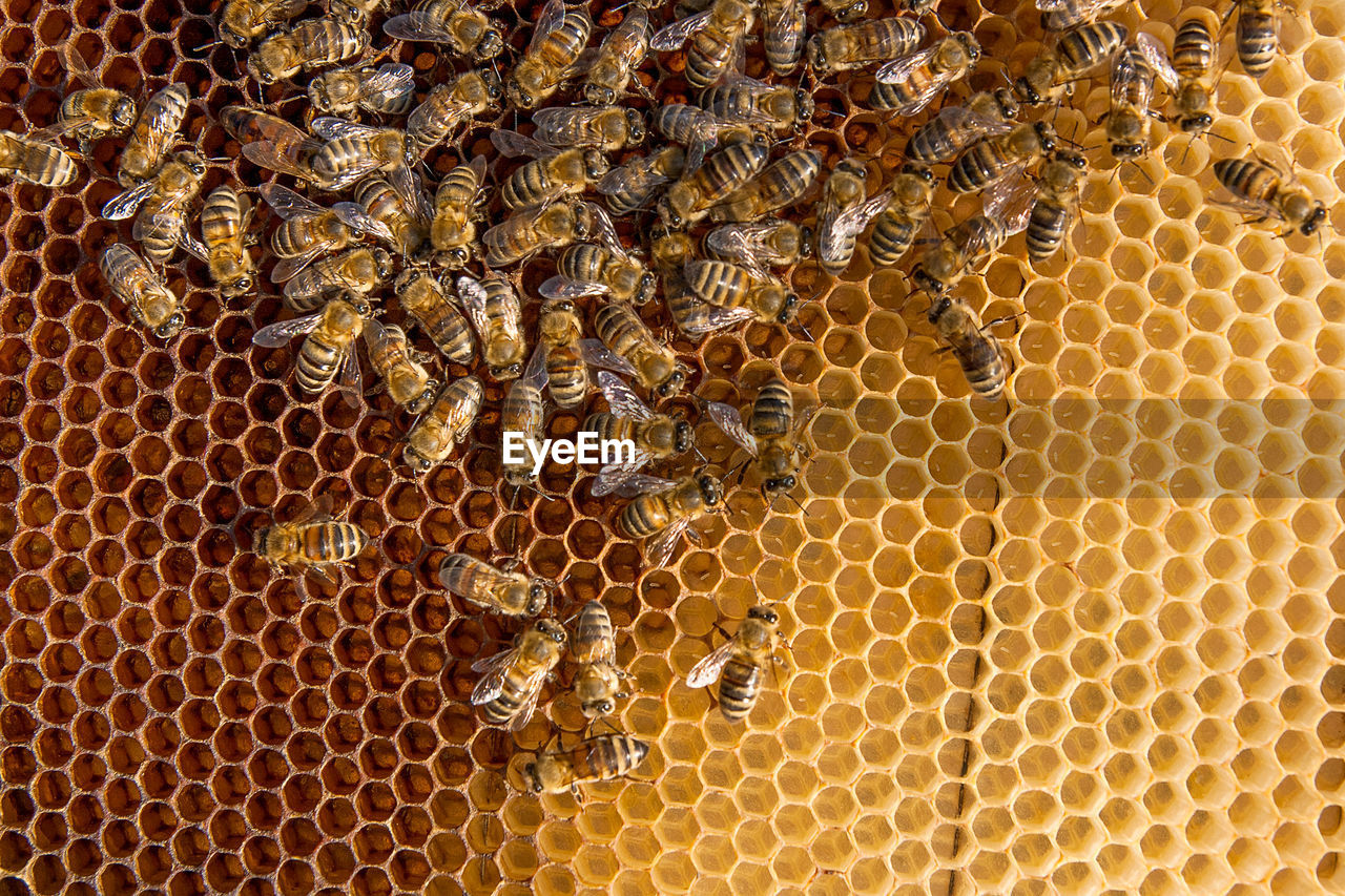 Full Frame Shot Of Bees On Honeycomb