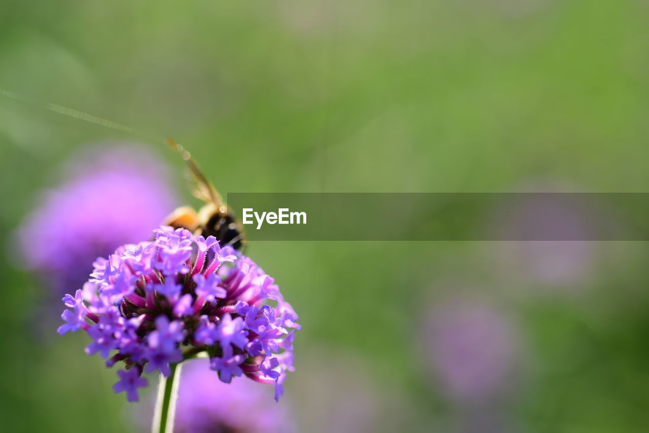 flower, flowering plant, fragility, vulnerability, beauty in nature, freshness, purple, plant, insect, growth, invertebrate, close-up, animal wildlife, animals in the wild, bee, petal, animal, one animal, flower head, animal themes, pollination, no people, outdoors