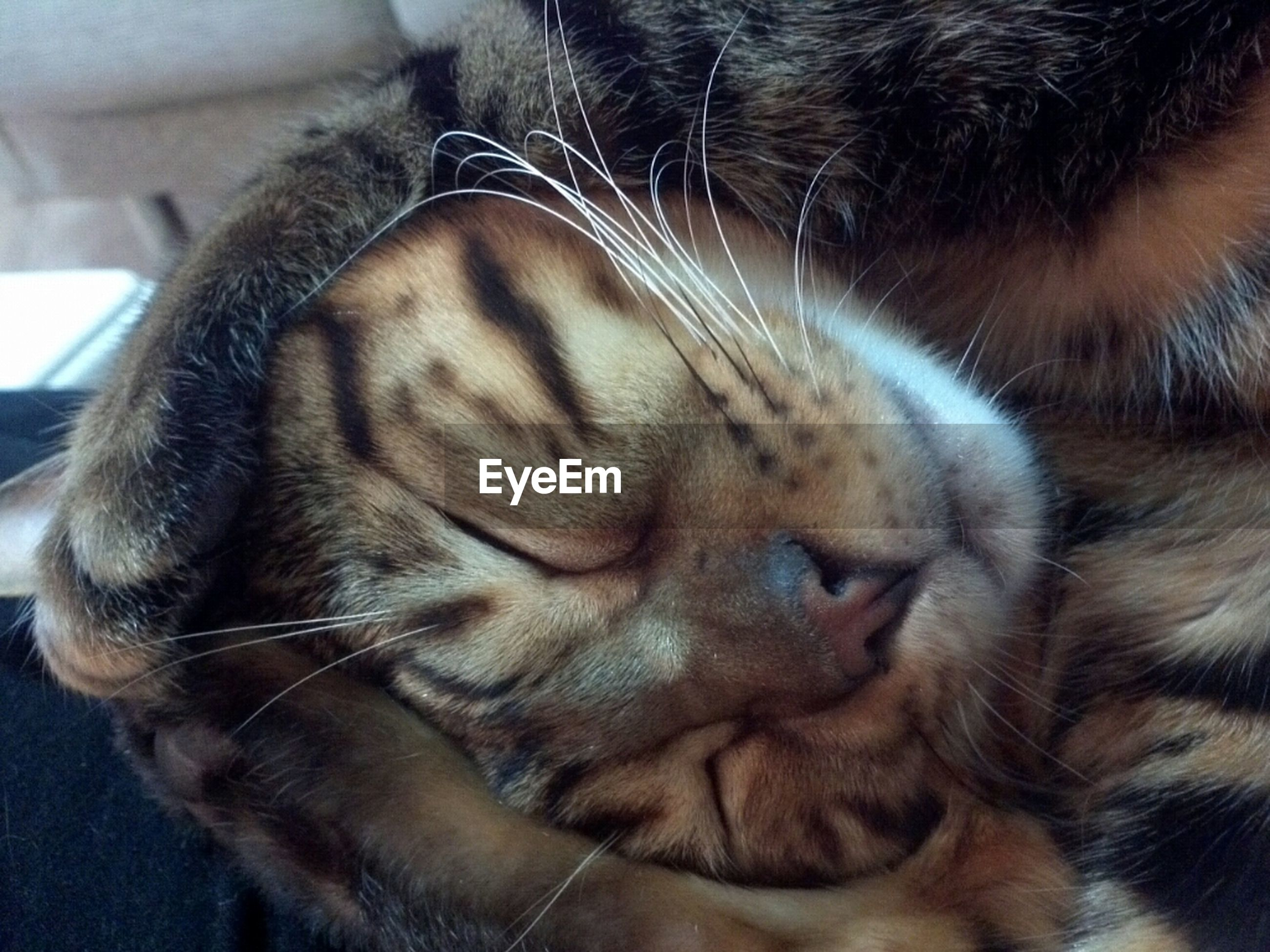 animal themes, one animal, mammal, domestic animals, pets, close-up, animal body part, indoors, animal head, whisker, domestic cat, feline, relaxation, sleeping, cat, eyes closed, lying down, resting, snout, zoology