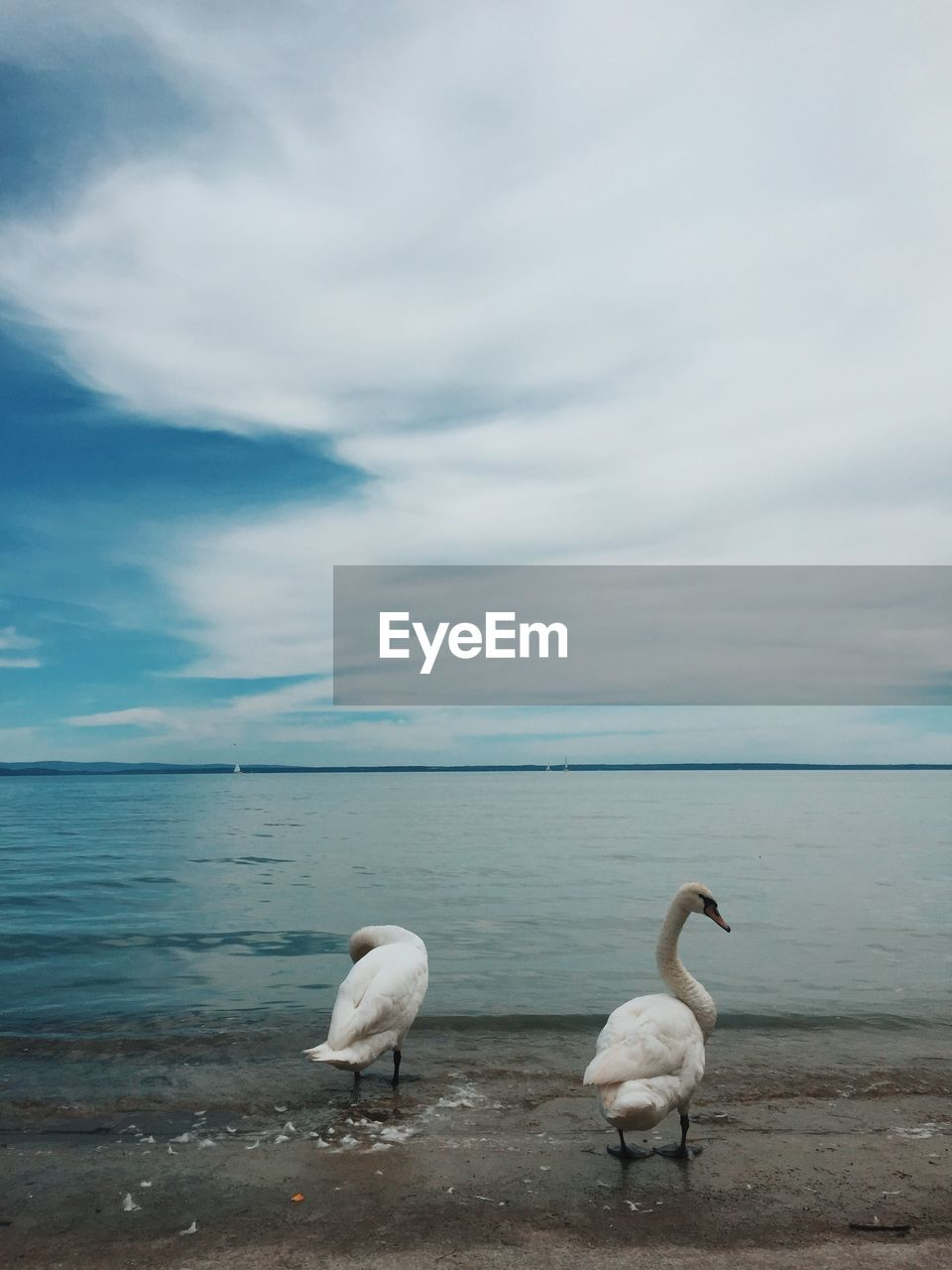 Swans On Lakeshore Against Cloudy Sky