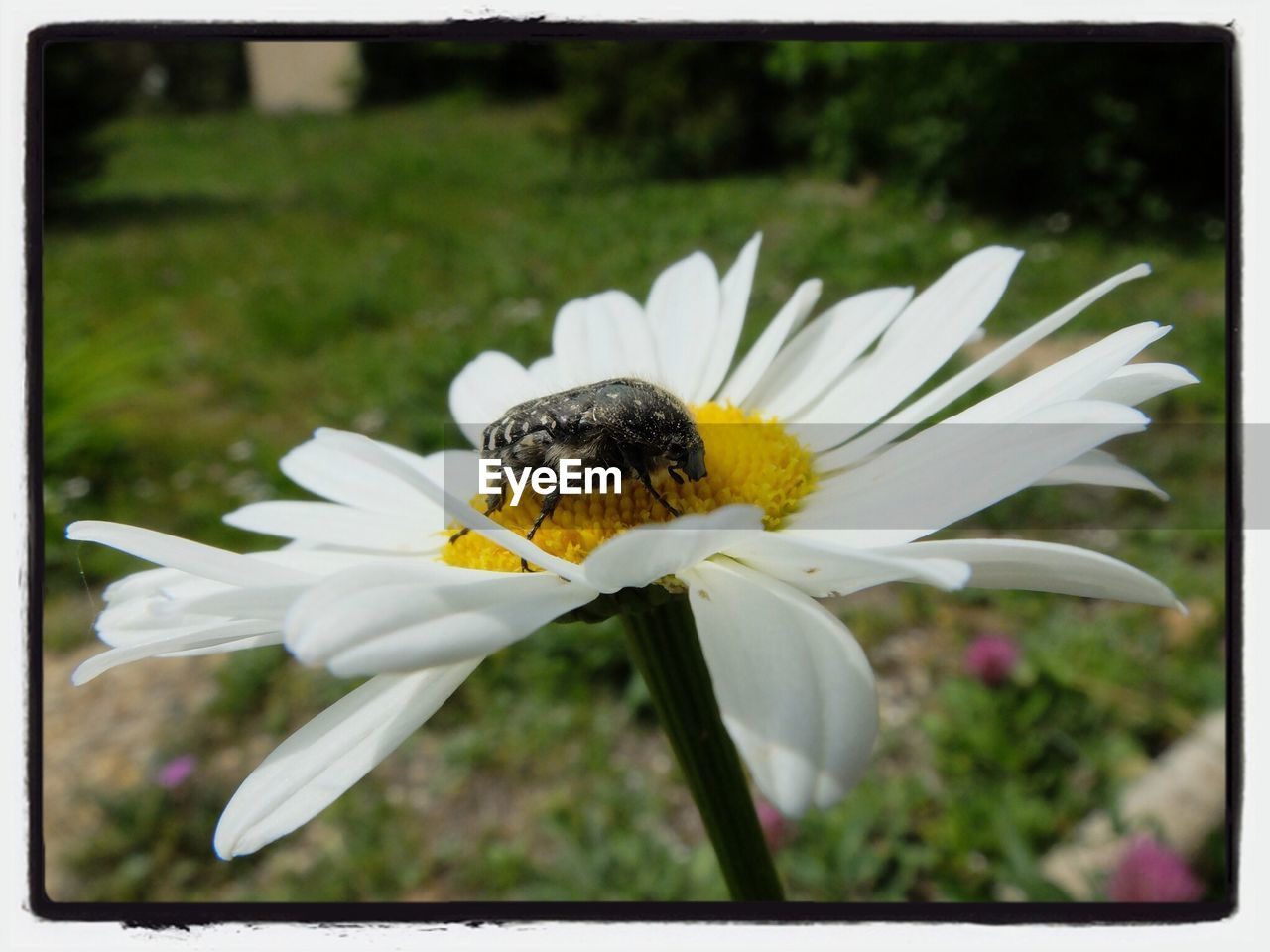Close-up of bug pollinating on daisy at park