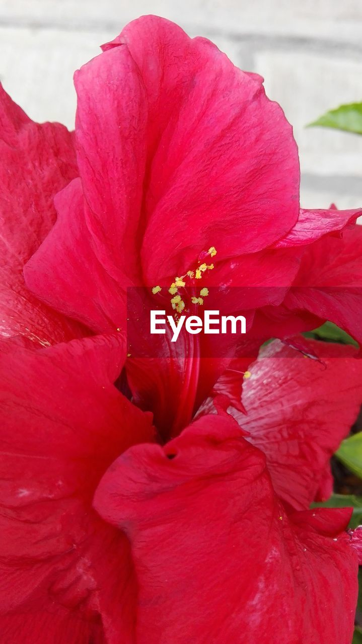 flower, petal, beauty in nature, nature, fragility, red, flower head, growth, freshness, no people, close-up, outdoors, hibiscus, day, plant, blooming, day lily