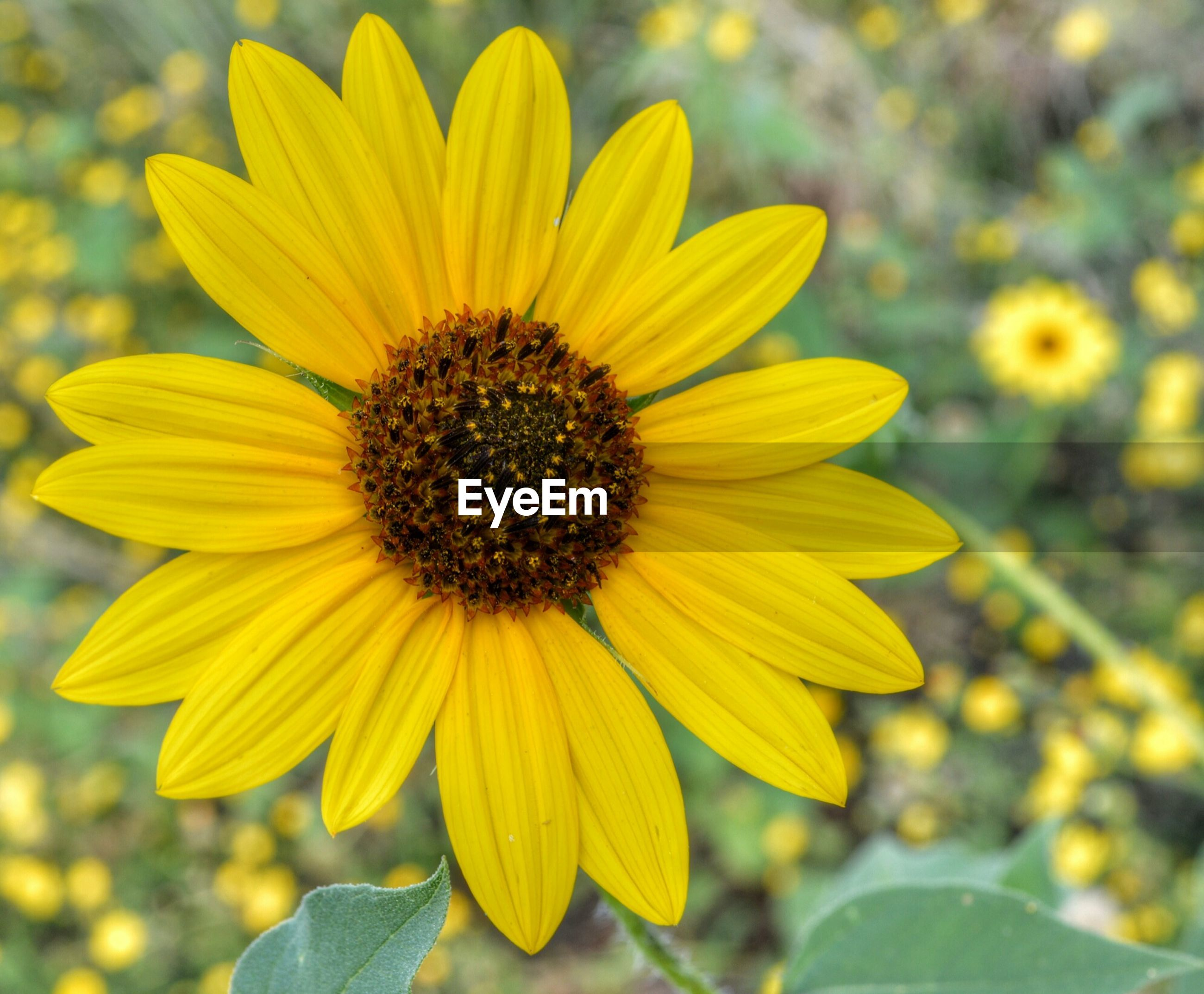 Close-up of yellow daisy blooming outdoors