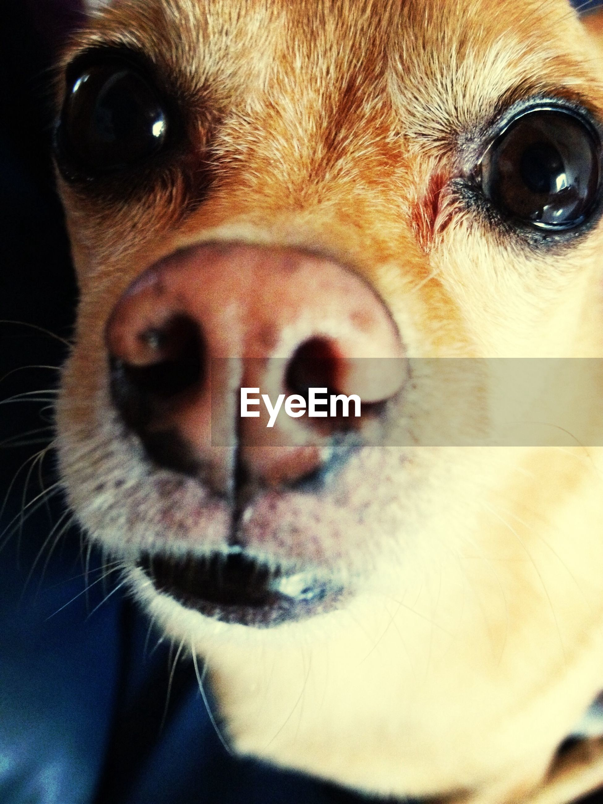 animal themes, pets, one animal, dog, domestic animals, mammal, close-up, animal head, portrait, animal body part, looking at camera, snout, animal nose, indoors, animal eye, focus on foreground, no people, zoology, part of