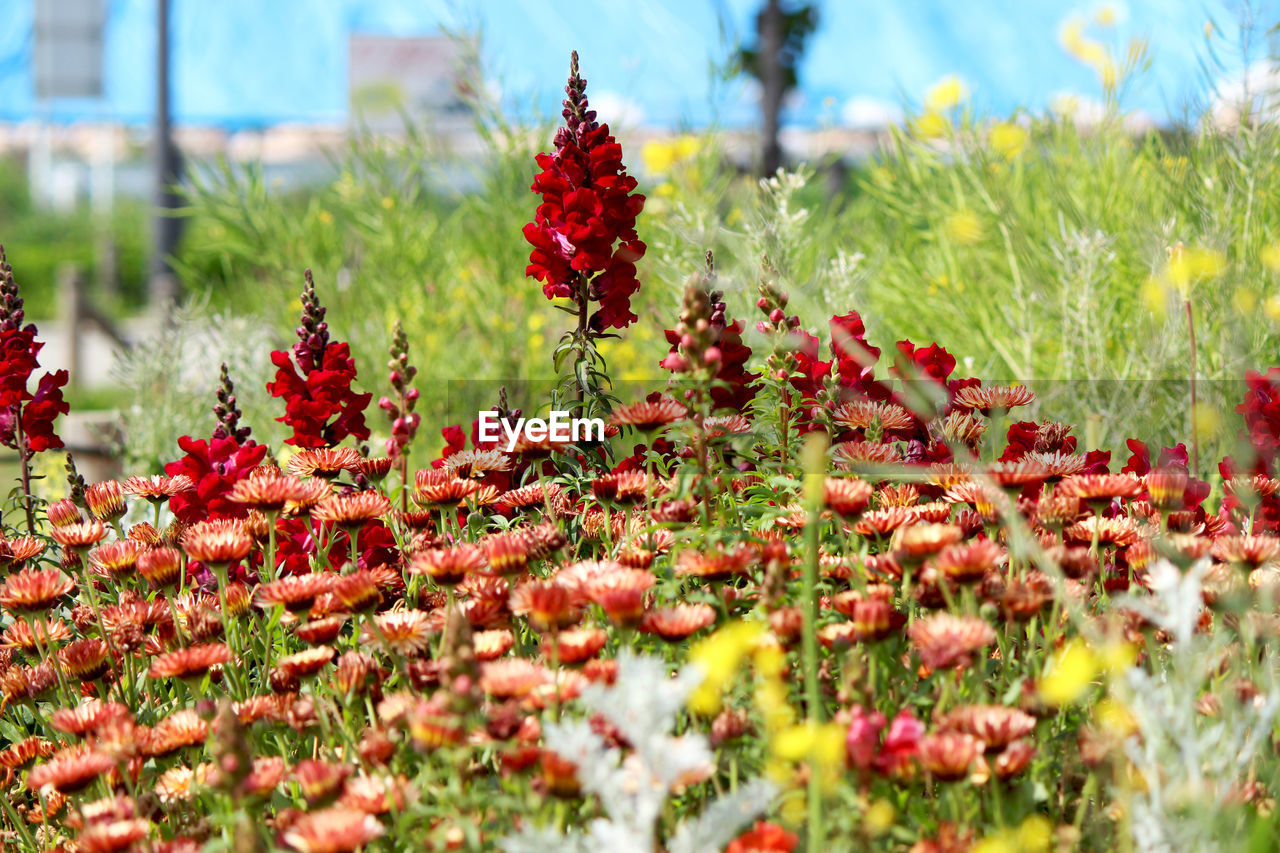 plant, growth, flower, flowering plant, beauty in nature, selective focus, red, freshness, day, field, nature, land, fragility, vulnerability, no people, green color, close-up, tranquility, outdoors, flower head
