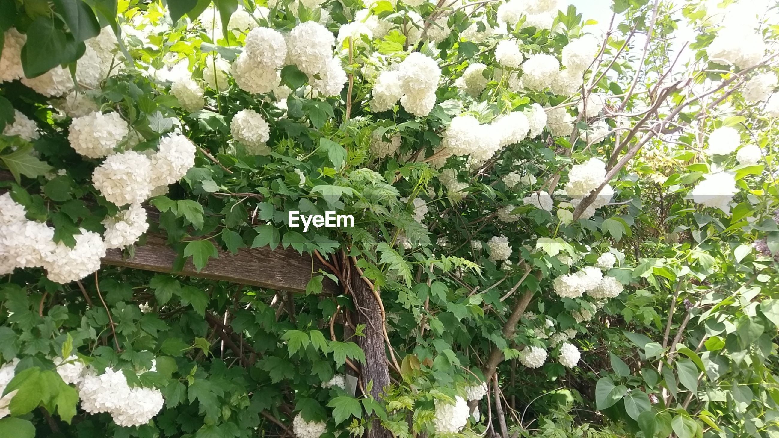 WHITE FLOWERS BLOOMING OUTDOORS