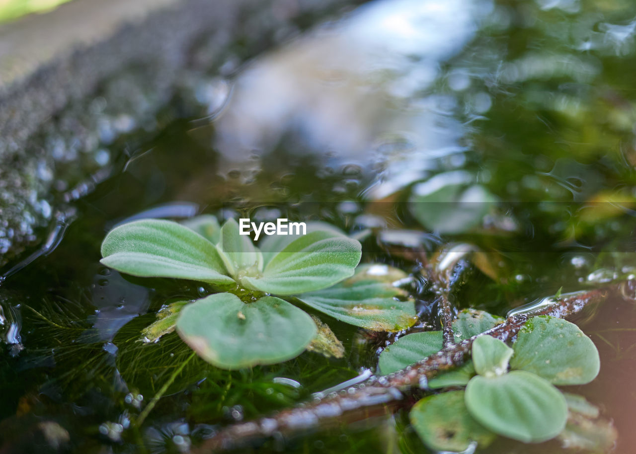 plant part, leaf, water, plant, green color, growth, selective focus, drop, nature, beauty in nature, no people, close-up, day, wet, tranquility, outdoors, freshness, high angle view, purity, leaves, dew