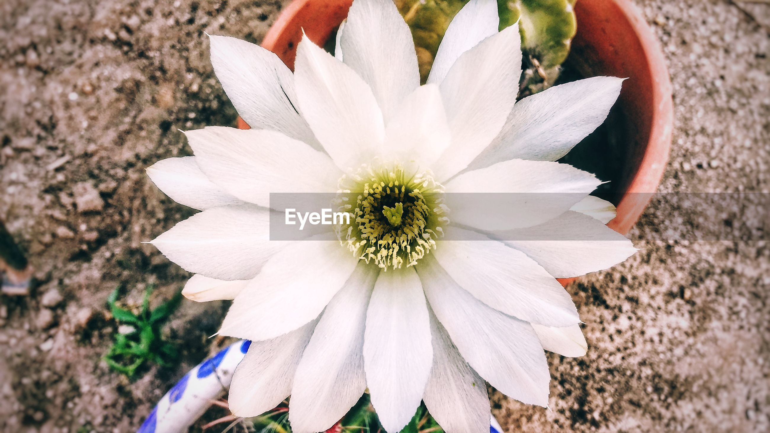 CLOSE-UP HIGH ANGLE VIEW OF WHITE FLOWER BLOOMING OUTDOORS