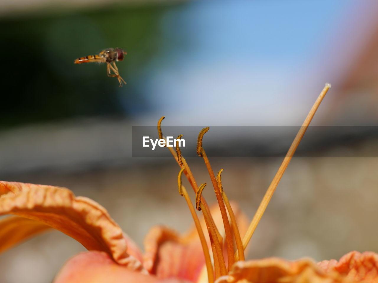 Dragonfly flying over orange lily flower