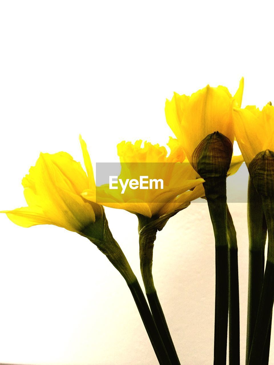 flower, petal, yellow, fragility, freshness, beauty in nature, flower head, nature, studio shot, growth, plant, close-up, no people, white background, springtime, blooming, outdoors, day, day lily