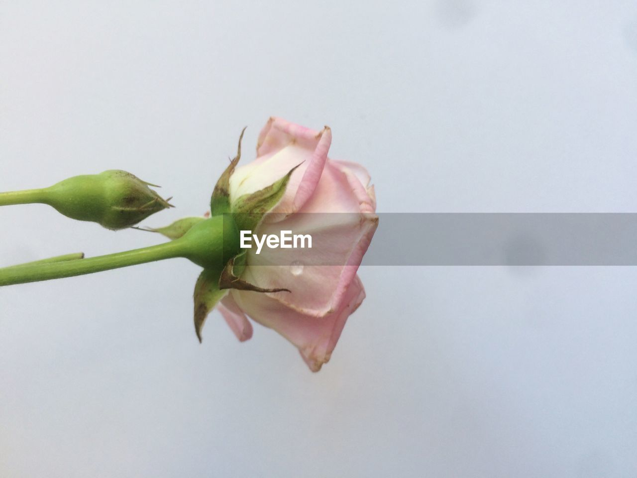 flowering plant, vulnerability, plant, flower, fragility, beauty in nature, freshness, close-up, growth, nature, pink color, copy space, studio shot, petal, no people, inflorescence, indoors, flower head, bud, water, purity, sepal
