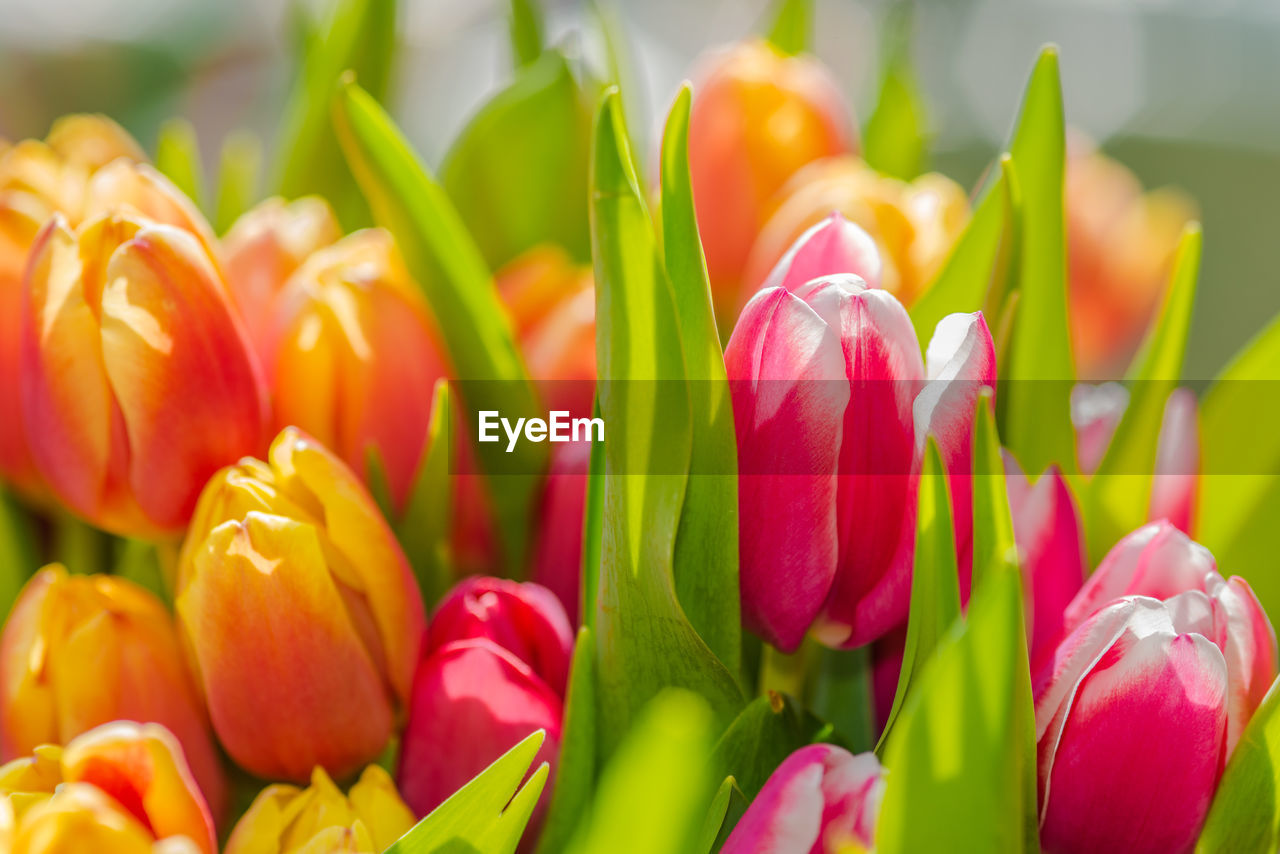 flower, freshness, petal, fragility, tulip, beauty in nature, close-up, selective focus, nature, no people, retail, day, flower head, full frame, growth, multi colored, outdoors