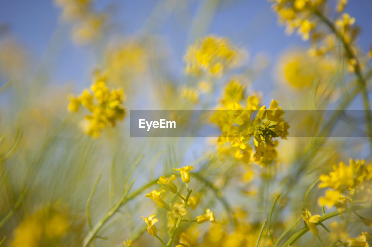 growth, plant, flower, flowering plant, yellow, fragility, beauty in nature, vulnerability, freshness, field, selective focus, land, no people, close-up, nature, day, tranquility, outdoors, crop, agriculture, springtime, flower head