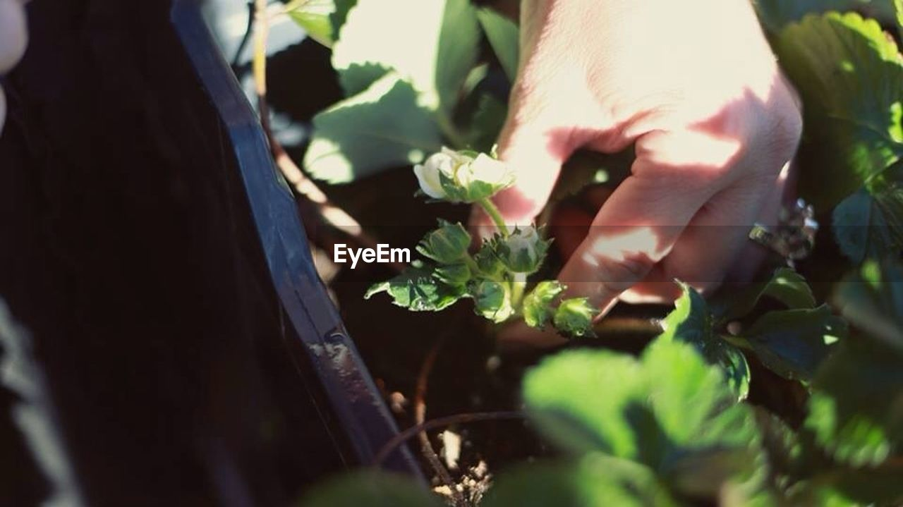 Close-up of person hand picking flower buds