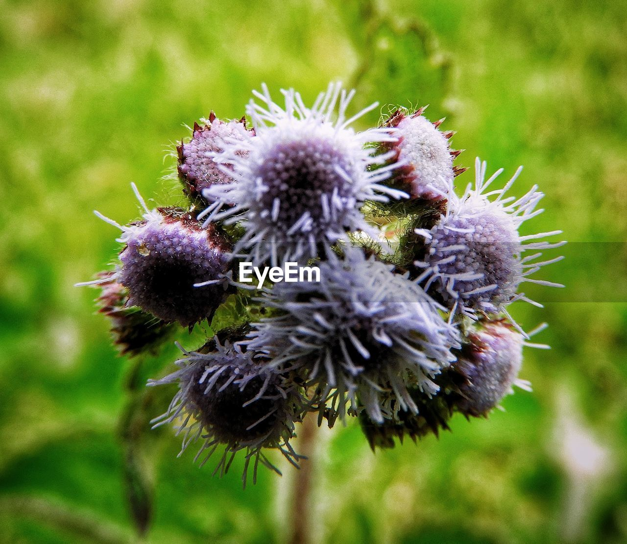 flowering plant, flower, plant, close-up, freshness, focus on foreground, vulnerability, fragility, beauty in nature, nature, day, growth, no people, flower head, inflorescence, land, outdoors, field, petal, thistle, purple, wilted plant