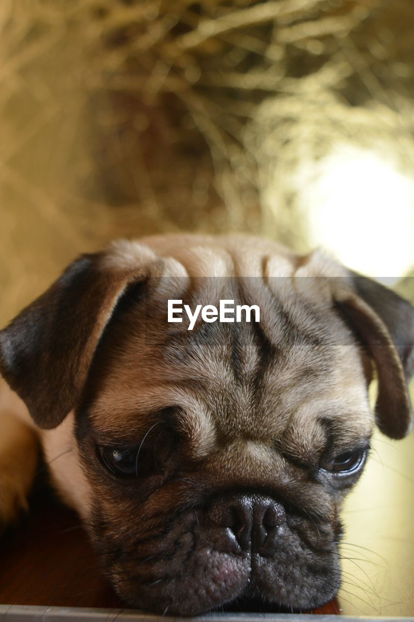 pets, dog, one animal, domestic animals, mammal, animal themes, close-up, no people, indoors, focus on foreground, portrait, day