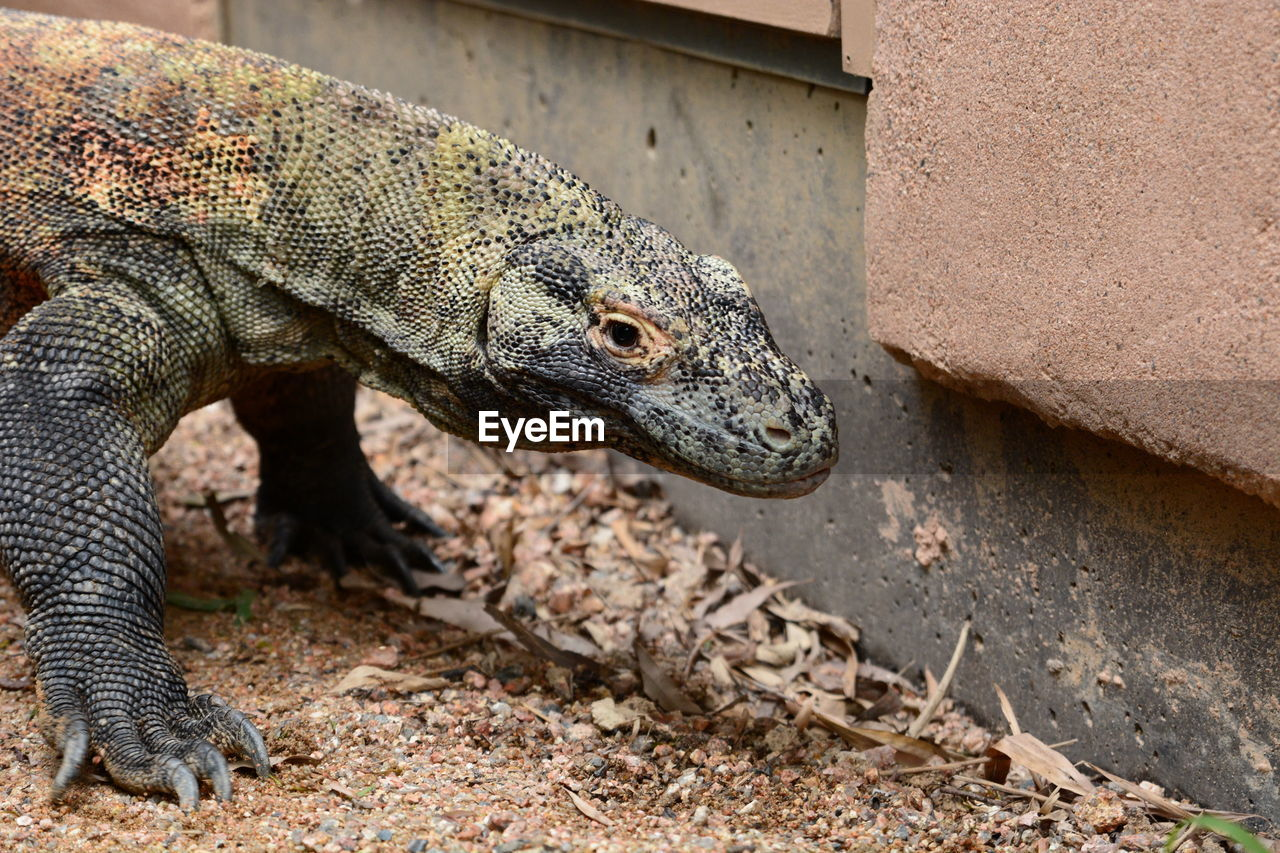animal themes, animals in the wild, animal, one animal, reptile, animal wildlife, vertebrate, lizard, day, no people, focus on foreground, nature, close-up, outdoors, rock, animal body part, sunlight, rock - object, solid, land, animal head, iguana, animal scale
