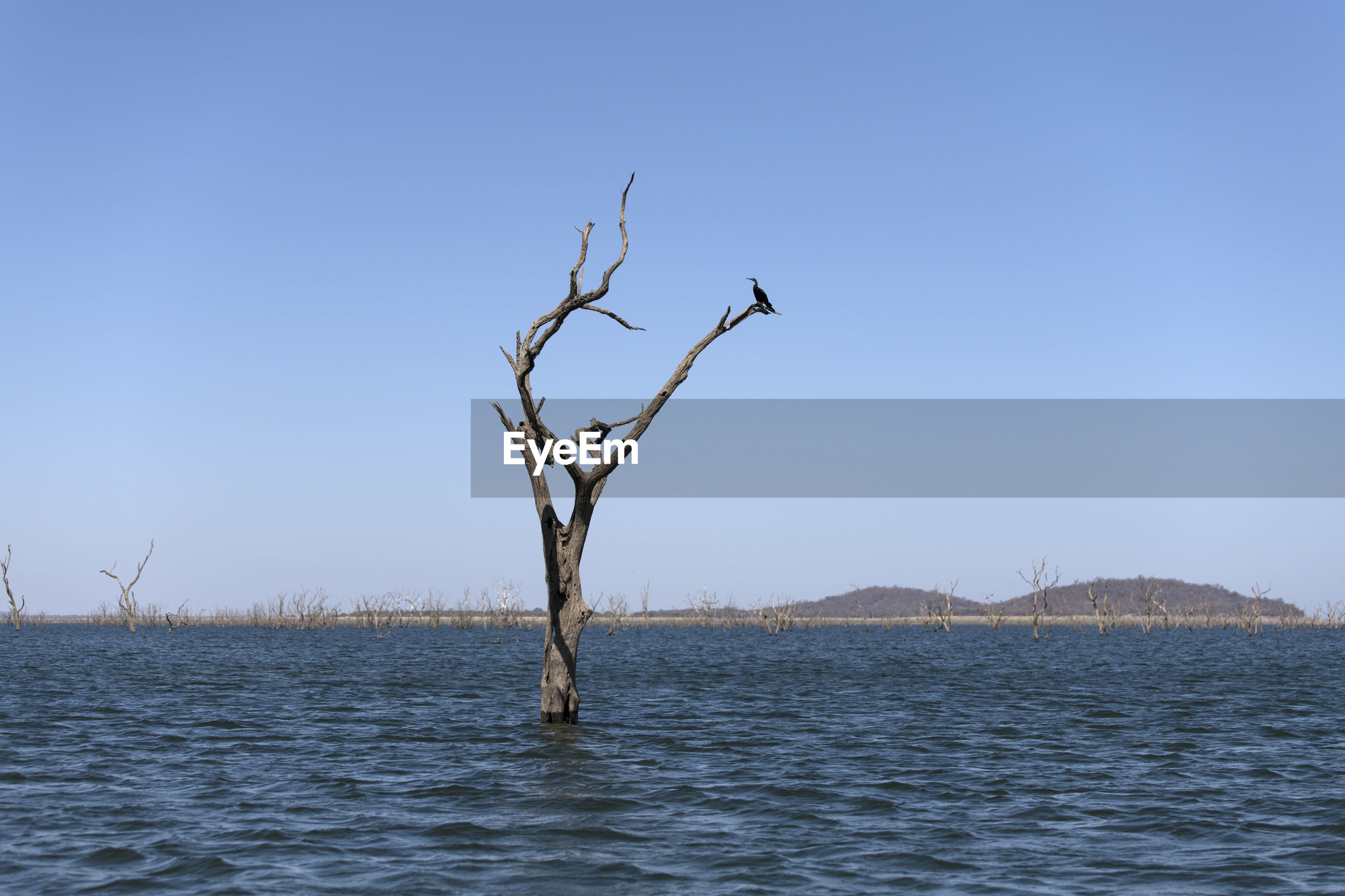 Bare tree by sea against clear blue sky