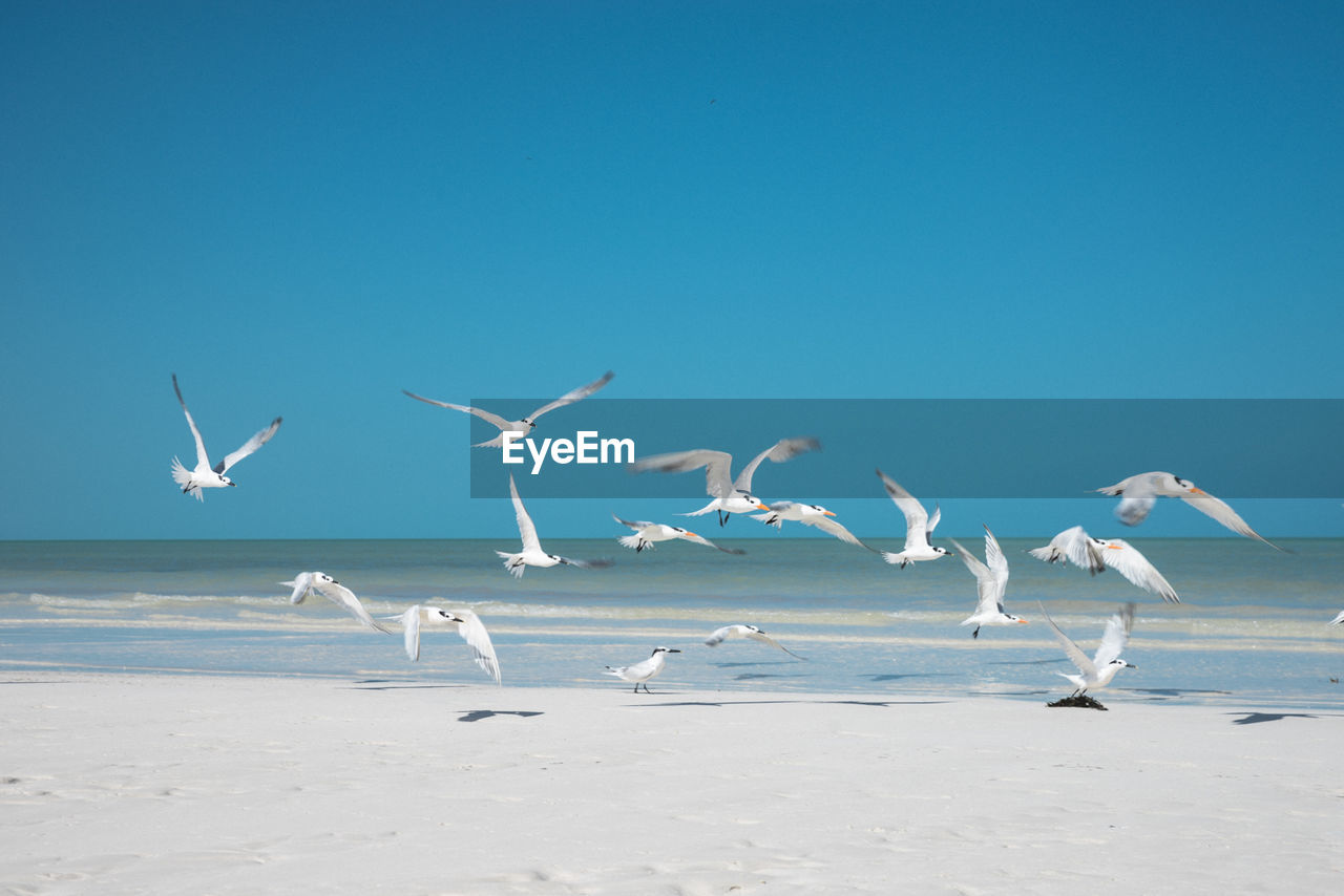 Terns flying on shore at beach against sky