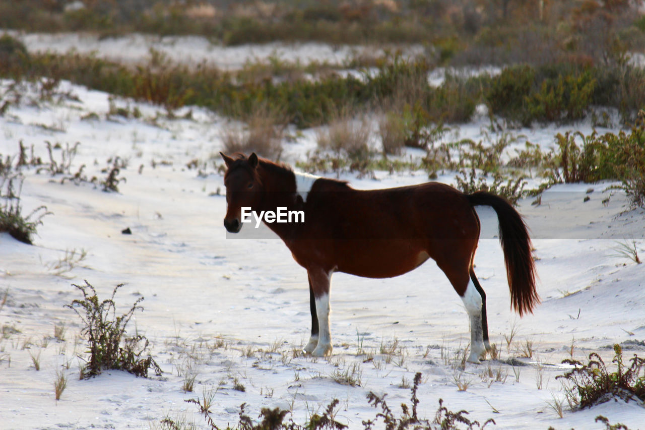 Horse standing on snow field during winter