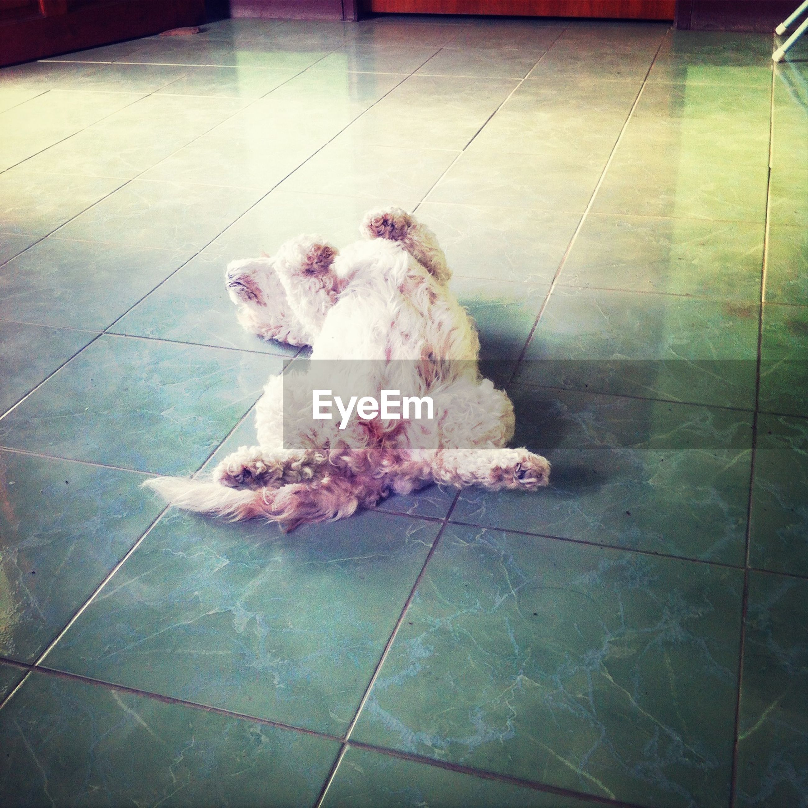 animal themes, indoors, one animal, domestic animals, high angle view, pets, mammal, bird, wildlife, no people, flooring, animals in captivity, day, tiled floor, dog, pink color, full length, close-up, chicken - bird, floor