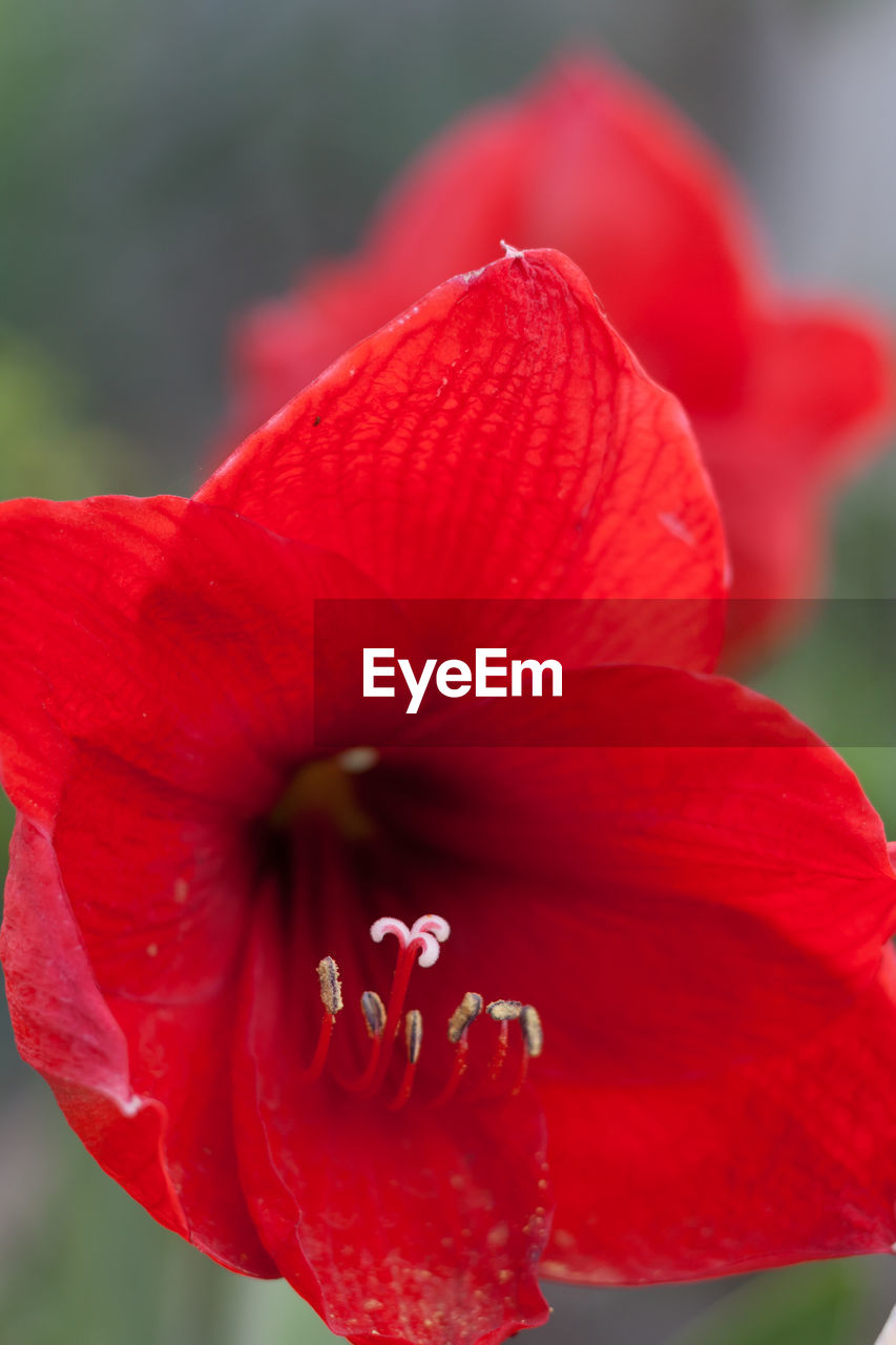 flower, petal, red, fragility, nature, beauty in nature, flower head, growth, freshness, close-up, no people, stamen, day, outdoors, hibiscus, springtime, plant, day lily, blooming