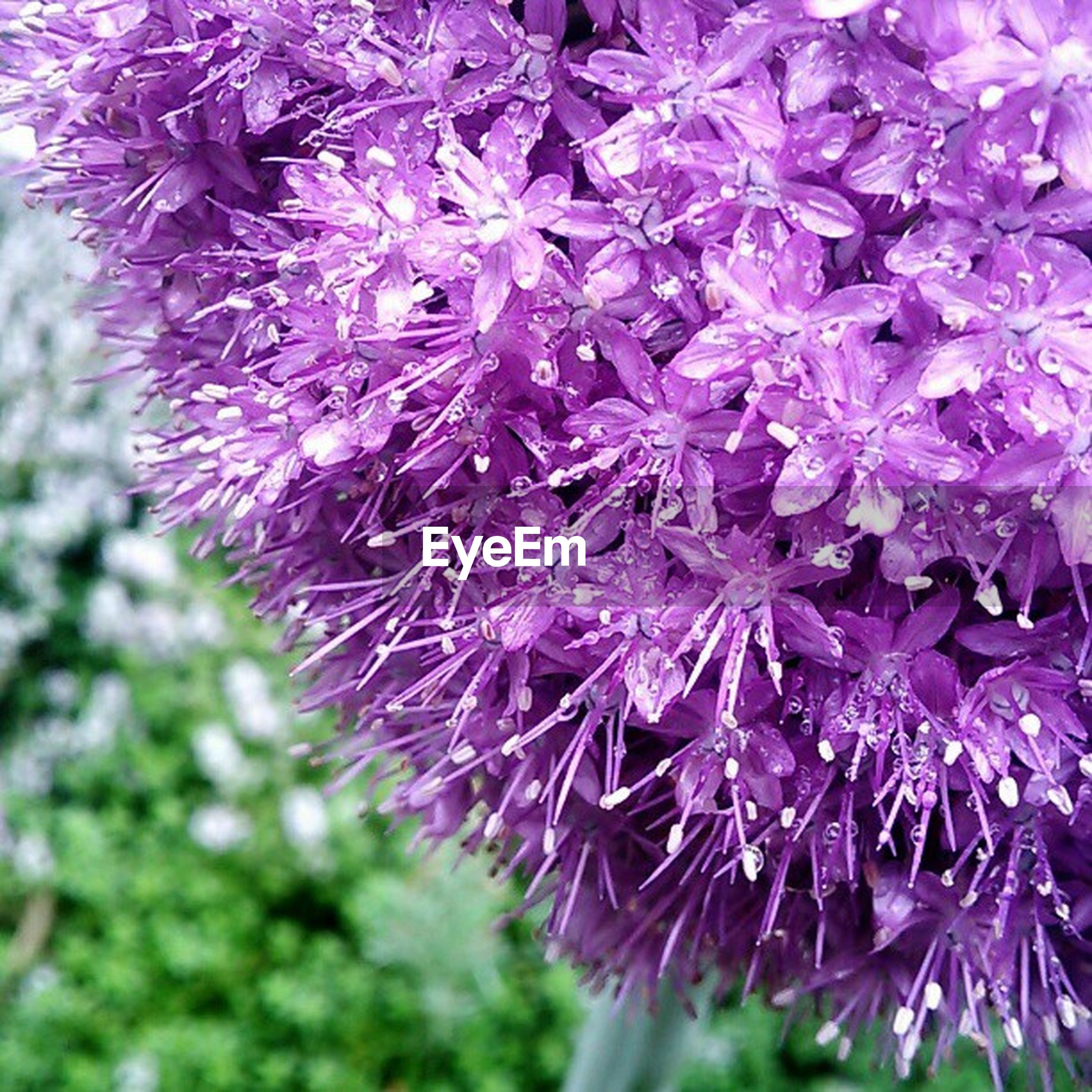 flower, growth, freshness, purple, fragility, close-up, beauty in nature, nature, focus on foreground, plant, selective focus, flower head, botany, in bloom, outdoors, blooming, blossom, no people, branch, petal
