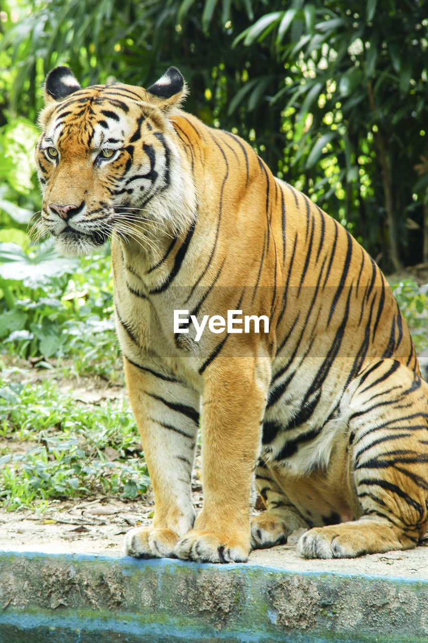 tiger, animal, animal themes, big cat, feline, mammal, animal wildlife, cat, animals in the wild, one animal, carnivora, day, vertebrate, endangered species, focus on foreground, undomesticated cat, zoo, nature, no people, outdoors, whisker, white tiger