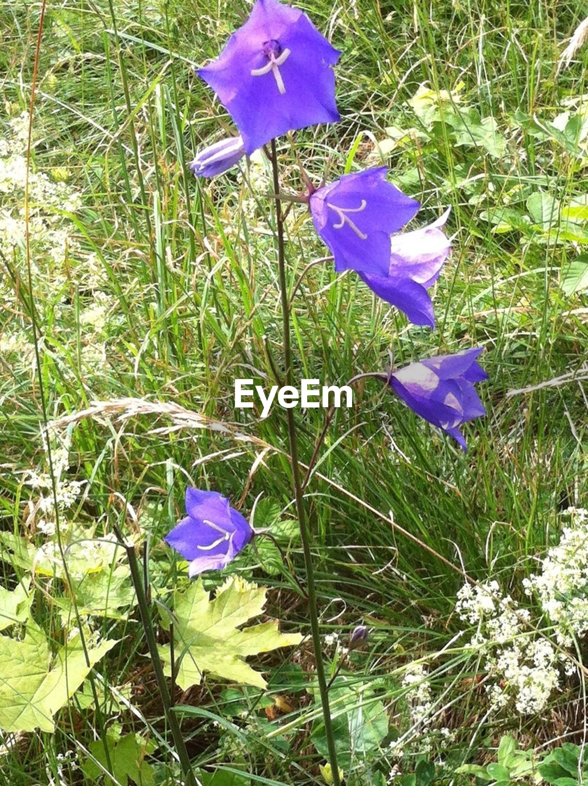 flower, purple, freshness, fragility, petal, growth, beauty in nature, flower head, plant, nature, blooming, field, grass, in bloom, crocus, blossom, blue, stem, high angle view, wildflower