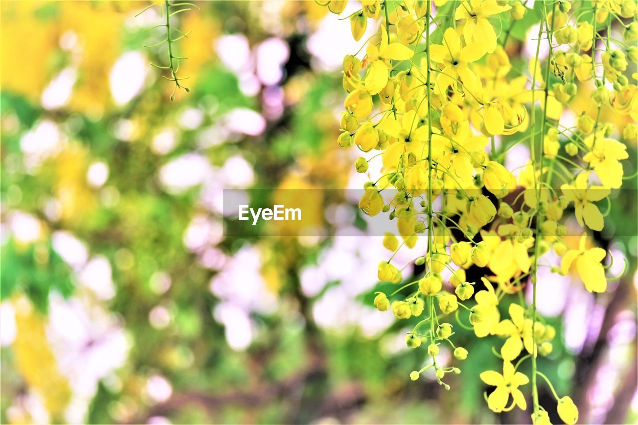 plant, flowering plant, flower, beauty in nature, yellow, growth, freshness, vulnerability, fragility, close-up, focus on foreground, nature, day, tree, blossom, no people, petal, springtime, outdoors, selective focus, flower head